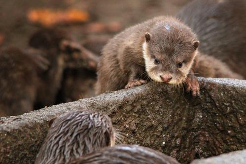 コツメカワウソ:Asian Short-clawed otter_b0249597_5161618.jpg