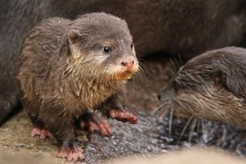 コツメカワウソ:Asian Short-clawed otter_b0249597_5173536.jpg