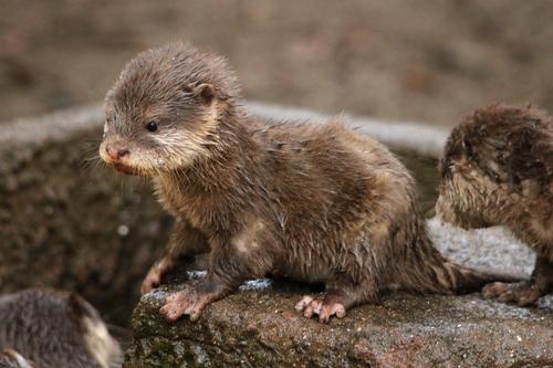 コツメカワウソ:Asian Short-clawed otter_b0249597_5194268.jpg