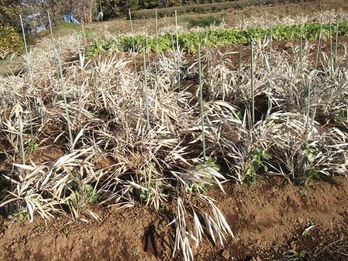 豆といちごの越冬状況は...._b0137932_10451772.jpg