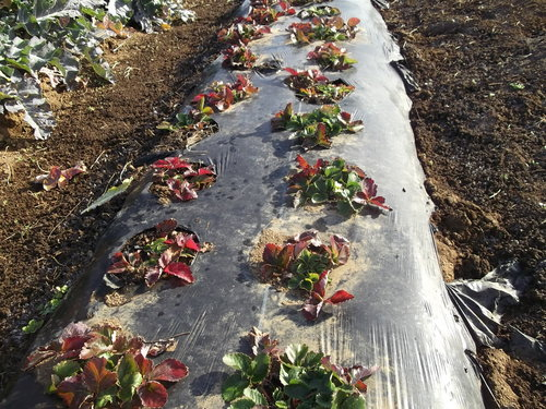 豆といちごの越冬状況は...._b0137932_10472129.jpg