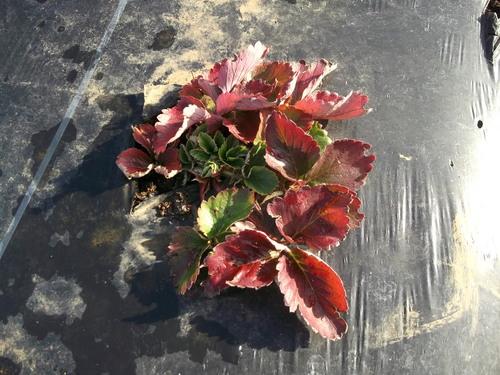 豆といちごの越冬状況は...._b0137932_10475254.jpg
