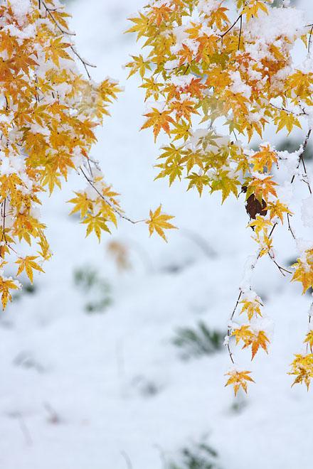 雪紅葉 3_c0067040_20263835.jpg