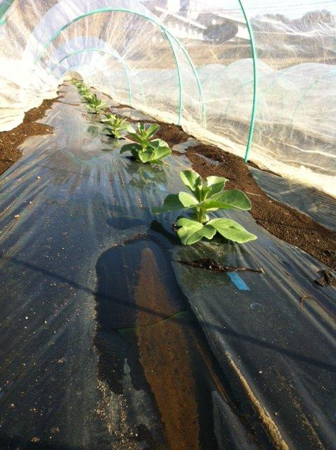今日の気温あれば 野菜達は、すくすく育ちます_c0222448_12543414.jpg