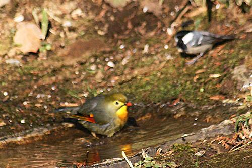 チャの花と、野鳥たちの水浴び_f0030085_21195859.jpg