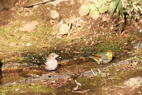 チャの花と、野鳥たちの水浴び_f0030085_21212385.jpg