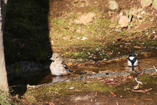 チャの花と、野鳥たちの水浴び_f0030085_21234774.jpg