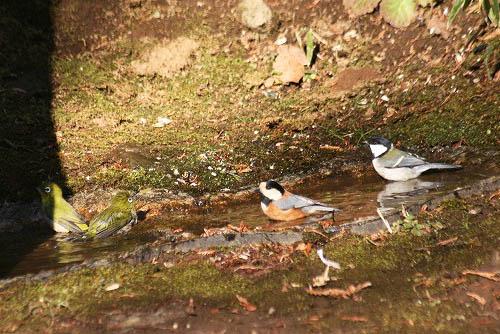 チャの花と、野鳥たちの水浴び_f0030085_21243829.jpg