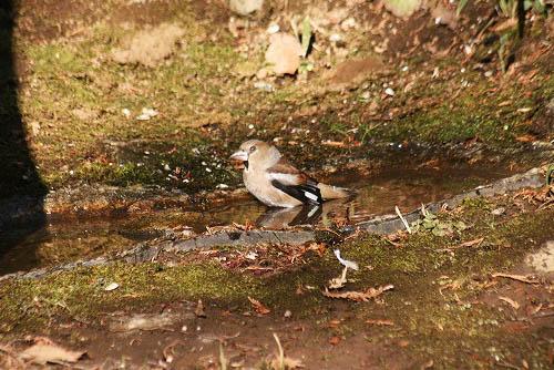 チャの花と、野鳥たちの水浴び_f0030085_21263826.jpg