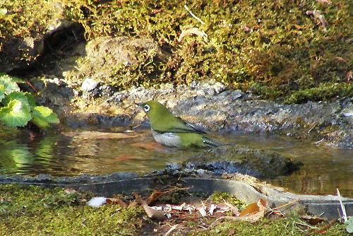 チャの花と、野鳥たちの水浴び_f0030085_2127665.jpg