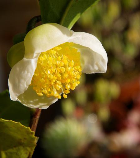 猫部屋の主と多肉植物、お茶の木の花など_a0136293_1637505.jpg