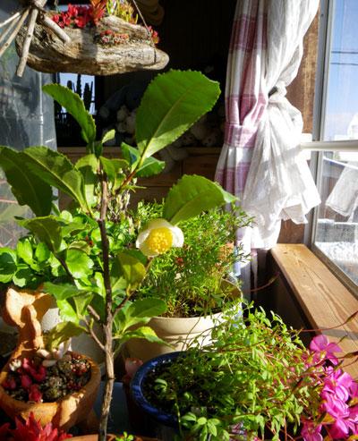 猫部屋の主と多肉植物、お茶の木の花など_a0136293_1640217.jpg