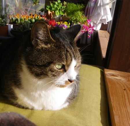 猫部屋の主と多肉植物、お茶の木の花など_a0136293_1656356.jpg