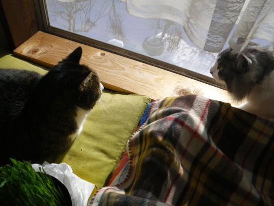 猫部屋の主と多肉植物、お茶の木の花など_a0136293_16571270.jpg