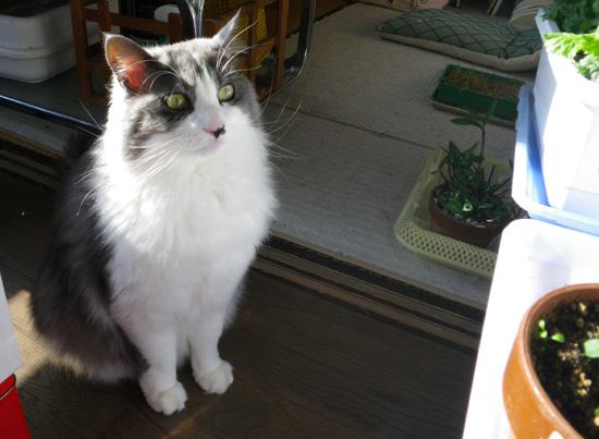 猫部屋の主と多肉植物、お茶の木の花など_a0136293_1764941.jpg