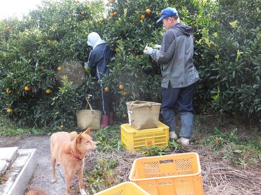 ポンカンの収穫を始めました_d0251679_141145.jpg