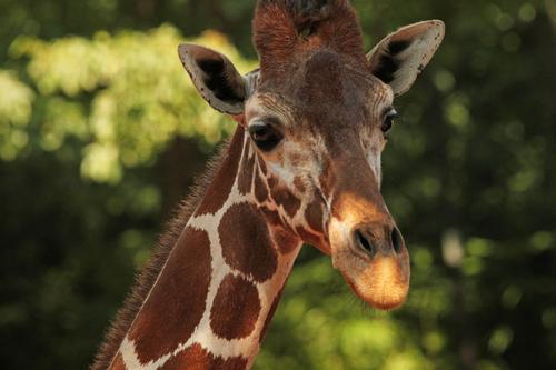 アミメキリン:Reticulated Giraffe_b0249597_747588.jpg