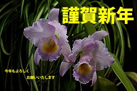 淡い色合いの C.trianaei concolor \'Orion\'_d0007501_10192319.jpg