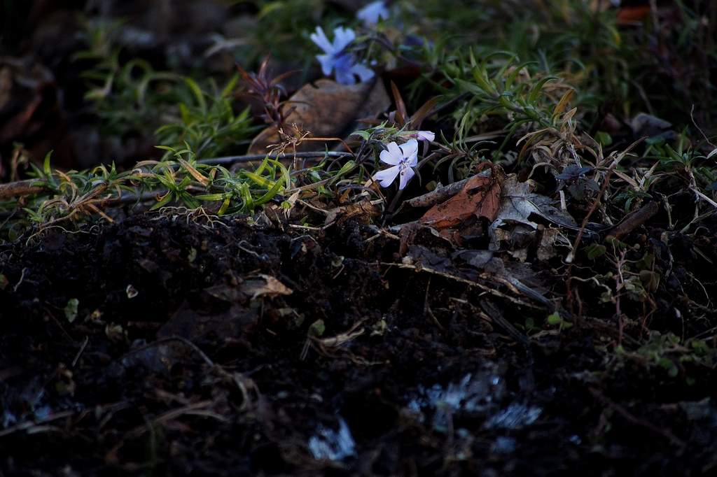 タシギ/アリスイ健在です/霜柱と芝桜_b0024798_20504178.jpg