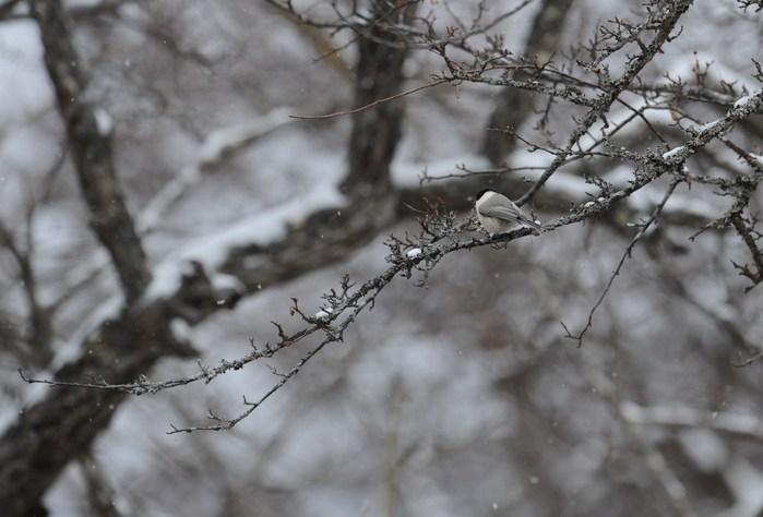 コガラ・・・雪の中_c0233349_23275752.jpg
