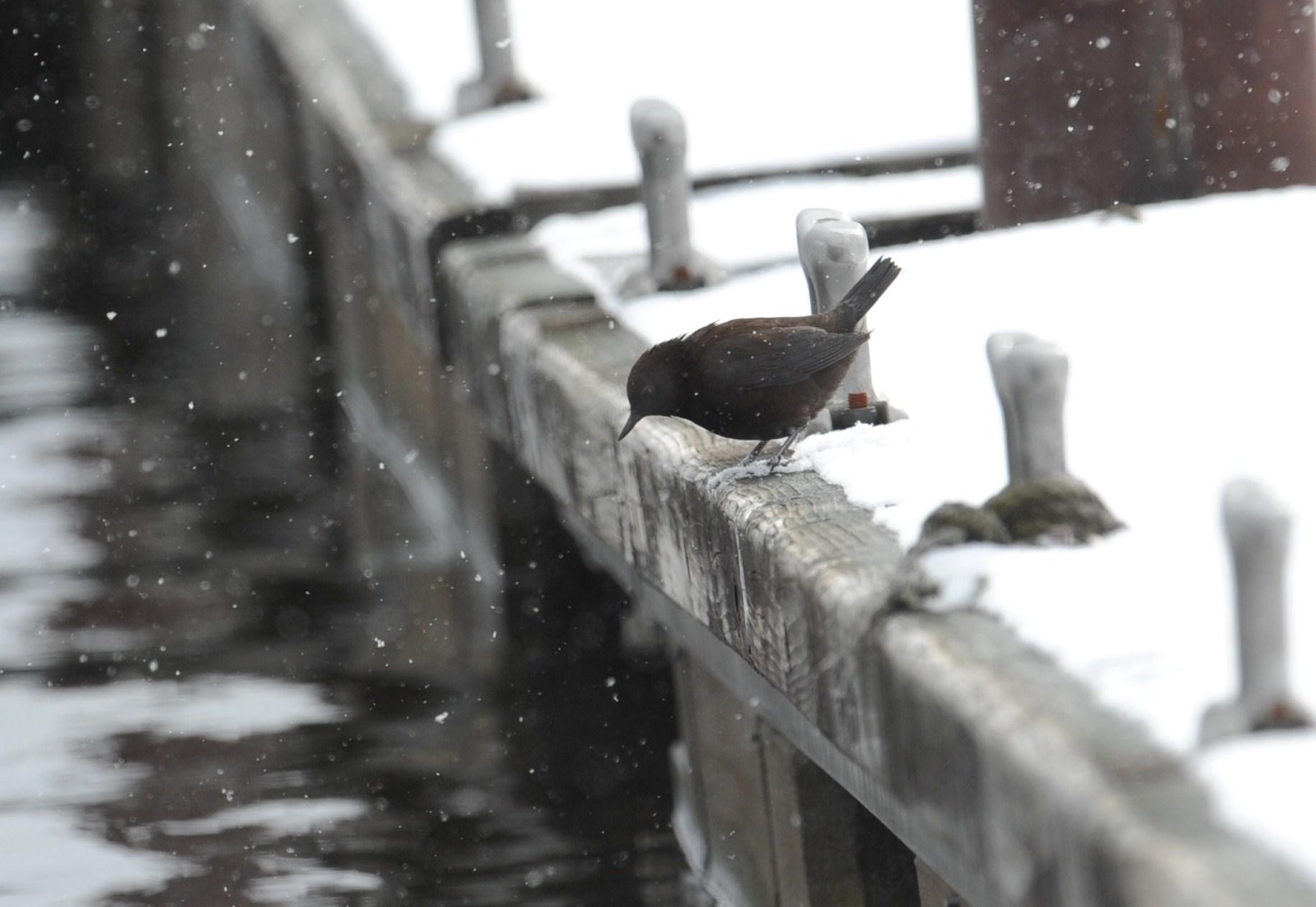 コガラ・・・雪の中_c0233349_2329575.jpg