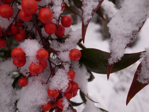 Nandina with sunlight, nandina with snow._b0078188_20241767.jpg