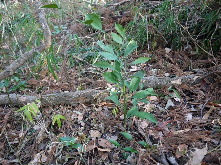 吃驚仰天、六国見山森林公園にカラスザンショウがびっしり_c0014967_22165335.jpg