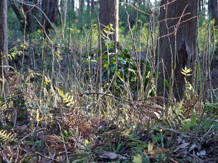 吃驚仰天、六国見山森林公園にカラスザンショウがびっしり_c0014967_2255764.jpg