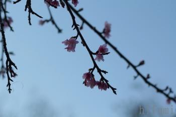 一番桜とコスモスの花咲く丘_c0176406_20271062.jpg