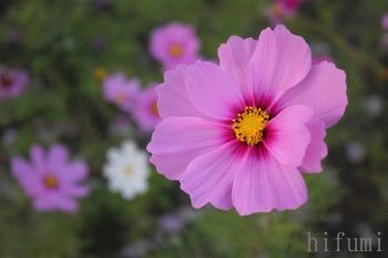 一番桜とコスモスの花咲く丘_c0176406_20283716.jpg