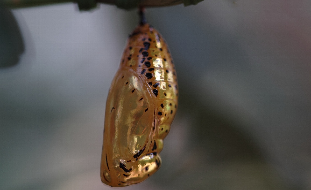GoldenChrysalis_c0124795_22405310.jpg