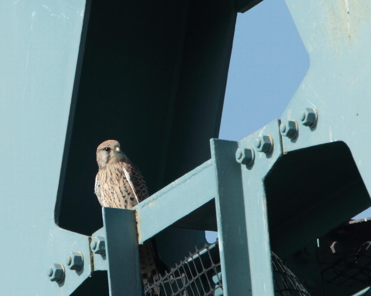 小田急の鉄橋で今年もチョウゲンボウが営巣開始?_f0105570_124292.jpg