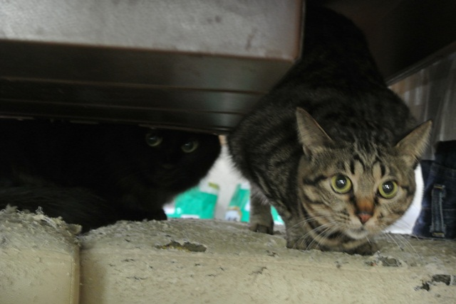 岐阜県で猫多頭飼い崩壊!猫たちを助けてくださいませんか?_c0167175_9331265.jpg