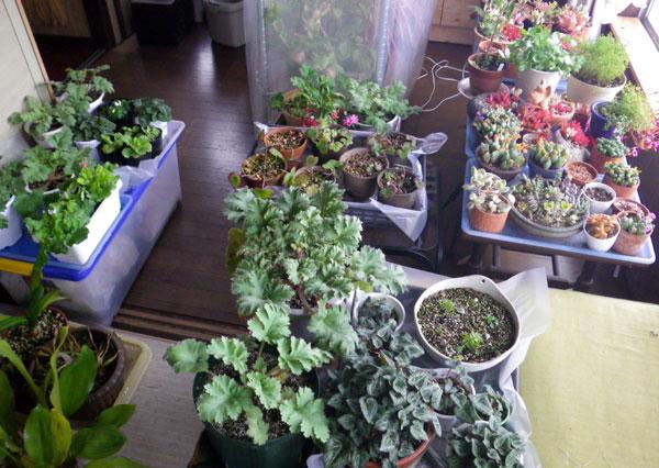 猫部屋、冬越し植物で満員御礼♪_a0136293_20214892.jpg