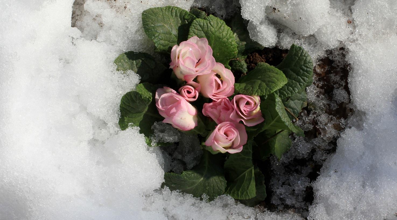 バラ咲きジュリアン_a0107574_1862334.jpg