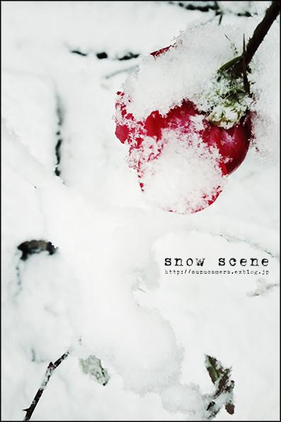 雪中の薔薇_f0100215_226722.jpg
