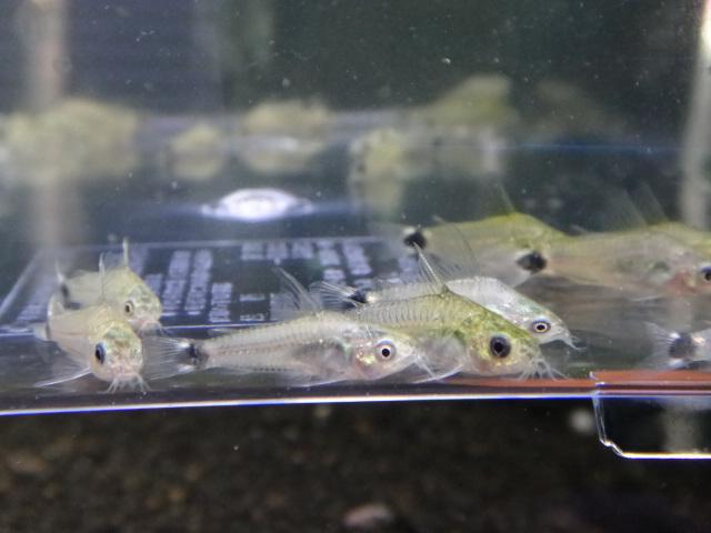 130117 熱帯魚・水草_f0189122_12563846.jpg