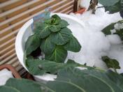 芽キャベツも雪かぶり_f0101128_226267.jpg