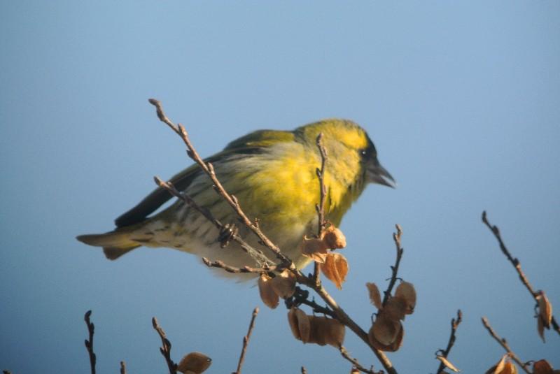 KOWA TE-11WZ 初撮りは青い鳥と黄色の小鳥_f0171028_16364394.jpg