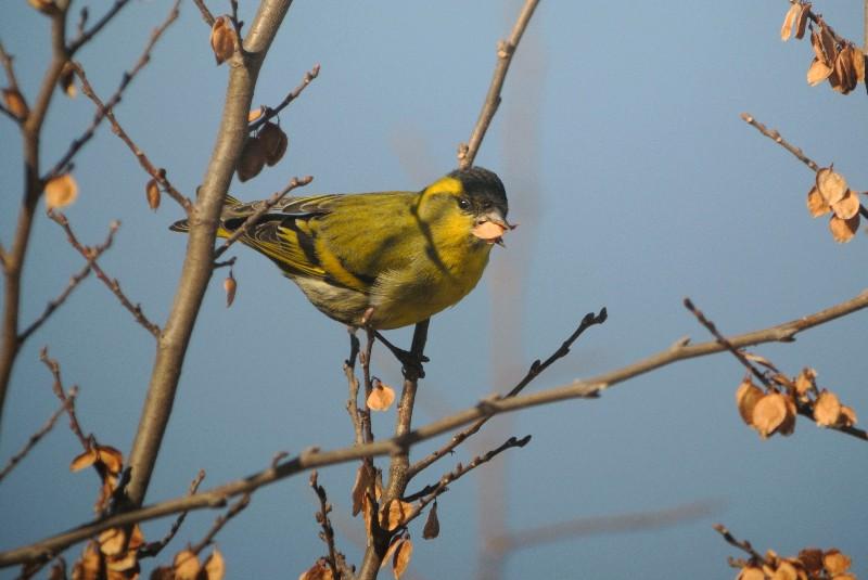 KOWA TE-11WZ 初撮りは青い鳥と黄色の小鳥_f0171028_16371566.jpg