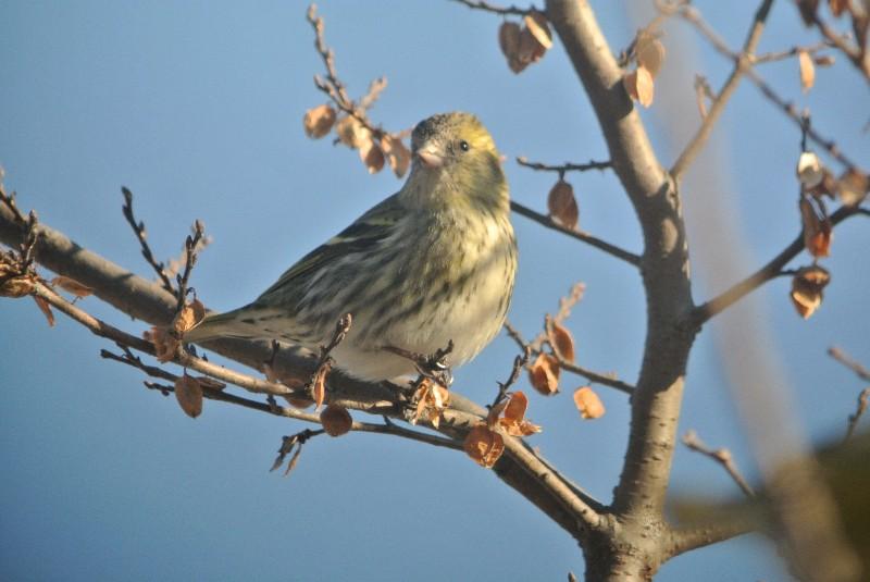 KOWA TE-11WZ 初撮りは青い鳥と黄色の小鳥_f0171028_1637642.jpg