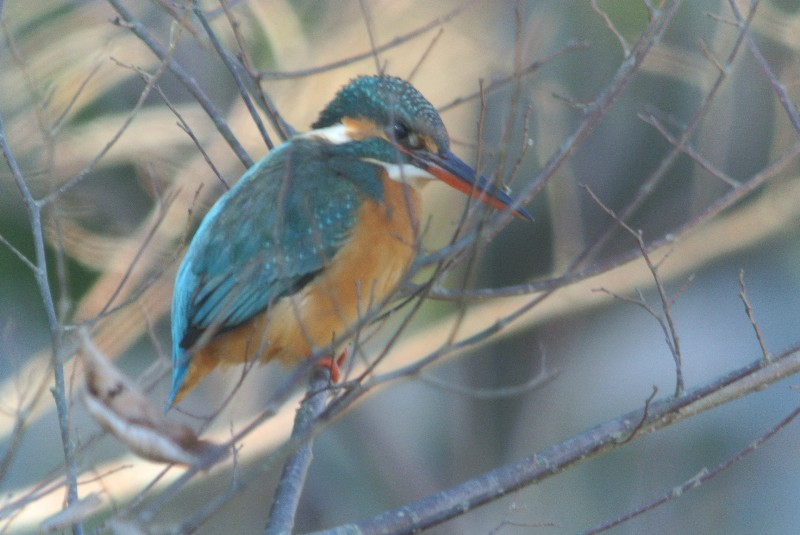 KOWA TE-11WZ 初撮りは青い鳥と黄色の小鳥_f0171028_16472033.jpg