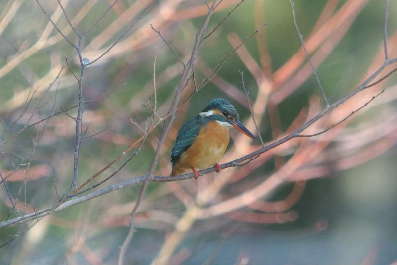 KOWA TE-11WZ 初撮りは青い鳥と黄色の小鳥_f0171028_164762.jpg