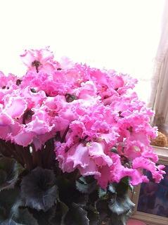 シクラメンの花は・・・_c0060919_9442258.jpg