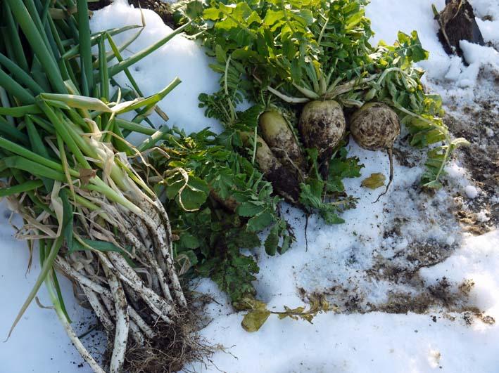 残雪の農園から聖護院ダイコンとネギ収穫(2013・1・20)_c0014967_18514160.jpg