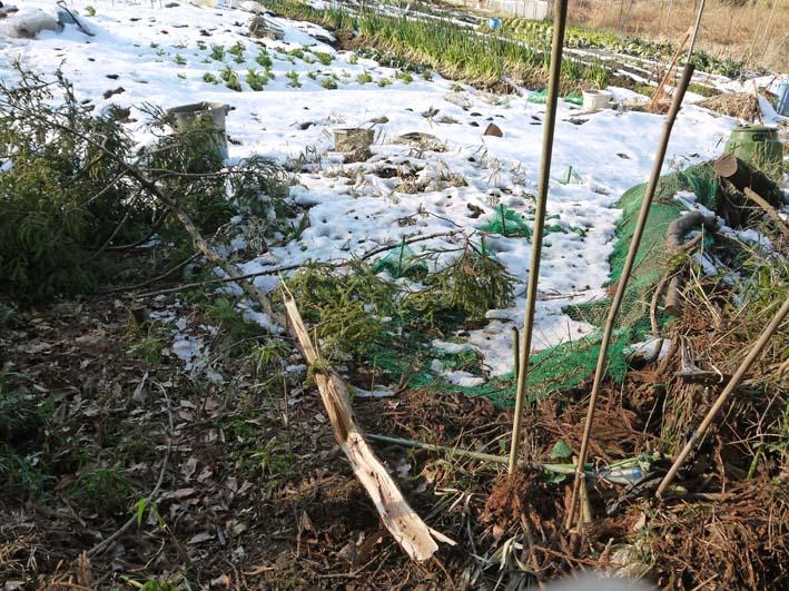 残雪の農園から聖護院ダイコンとネギ収穫(2013・1・20)_c0014967_18544557.jpg