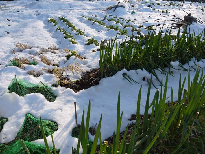 残雪の農園から聖護院ダイコンとネギ収穫(2013・1・20)_c0014967_18554988.jpg