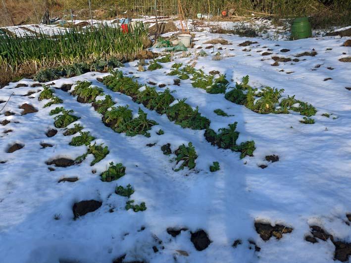 残雪の農園から聖護院ダイコンとネギ収穫(2013・1・20)_c0014967_18561388.jpg