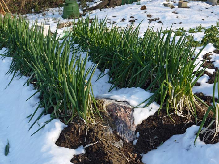 残雪の農園から聖護院ダイコンとネギ収穫(2013・1・20)_c0014967_1856288.jpg