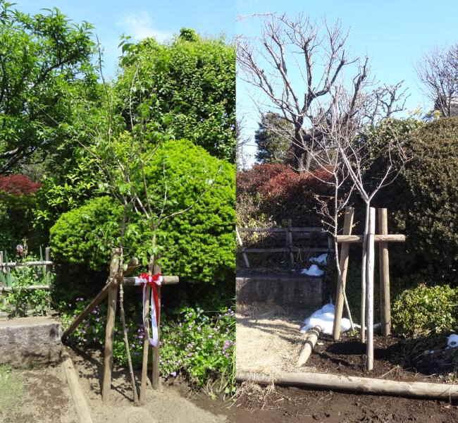記念植樹のロウバイ_f0059673_18464218.jpg
